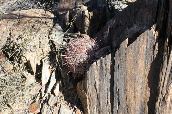Purple Barrel Cactus