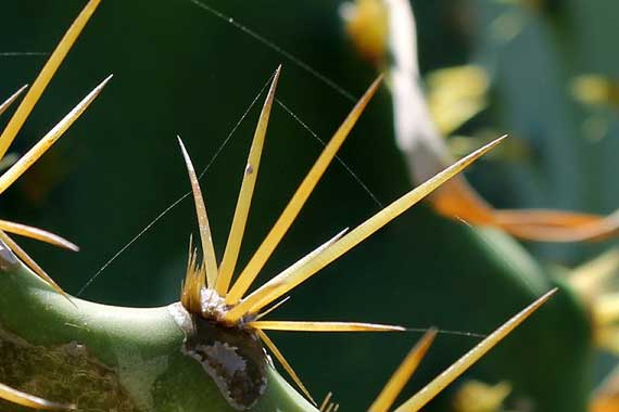 How to Remove Cactus Thorns