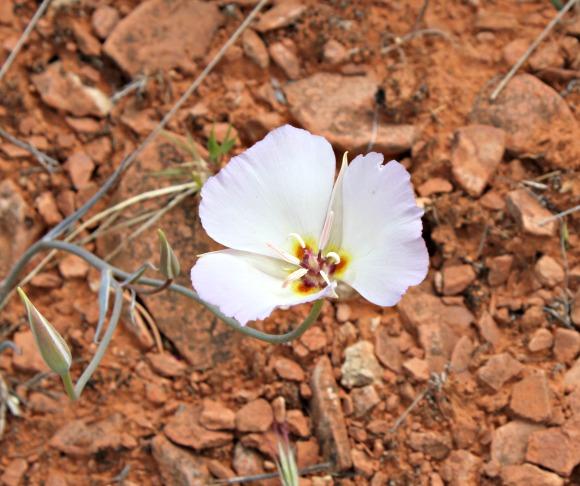 Winding Mariposa Lily