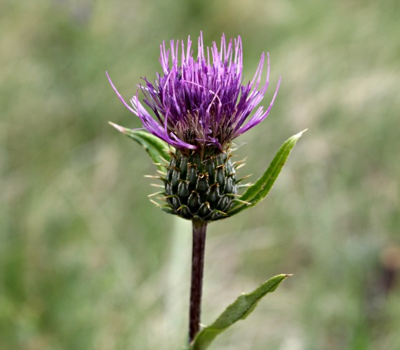 New Mexico thistle