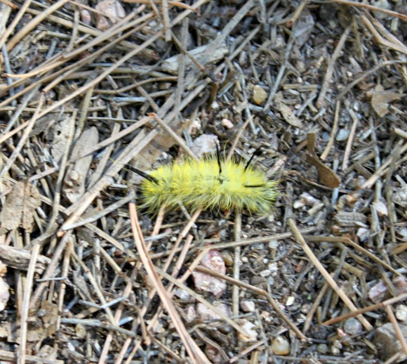 Granite Basin Recreation Area - Tussock Moth Caterpillar