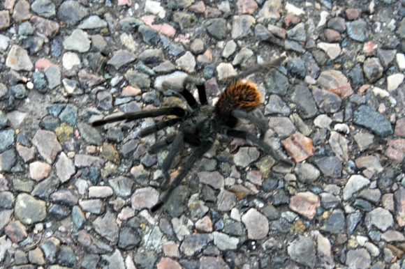 Granite Basin Recreation Area - Grand Canyon Black Tarantula