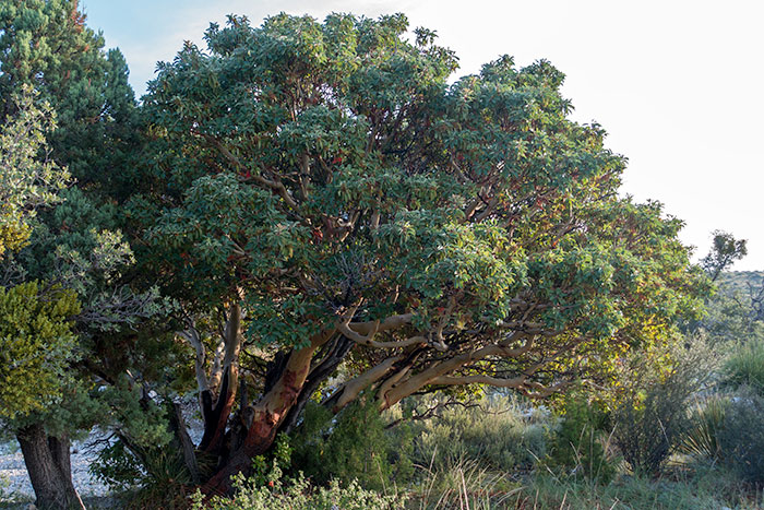 Texas Madrone Tree